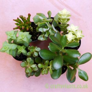 A mix of 6 Crassula from craftyplants
