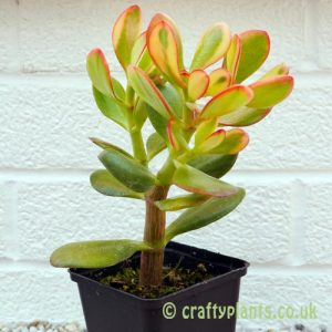 Crassula Ovata 'Sunset' by craftyplants