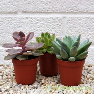 A selection of 3 Echeverias by craftyplants