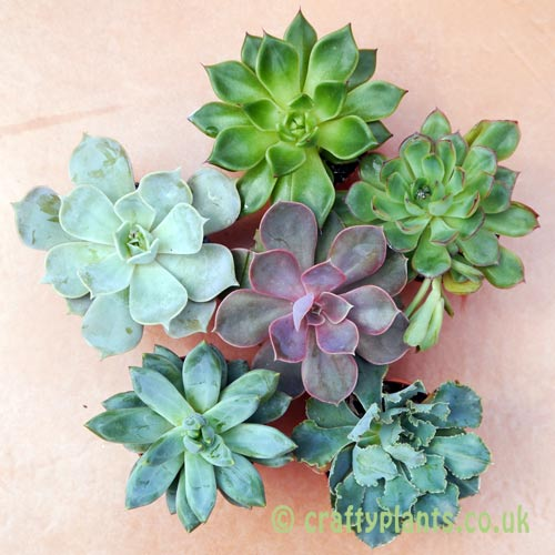 A mix of 6 Echeverias seen from above by craftyplants