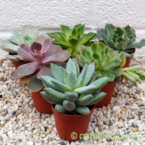 Echeveria 6 pack by craftyplants