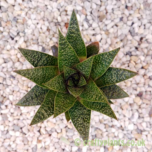 Top view of Gasteraloe 'Flow' by craftyplants.co.uk
