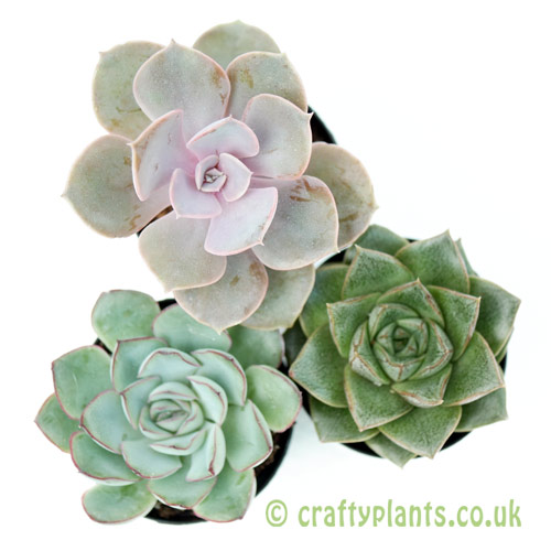 An example of a mixed Echeveria 3 pack from craftyplants