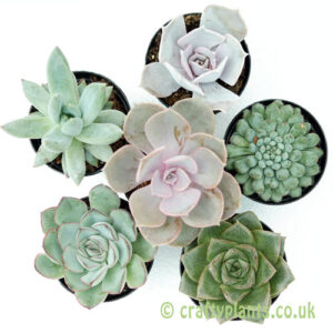 An example of a Mixed Echeveria 6 pack from craftyplants