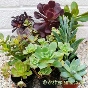 Mixed succulents 12 pack from craftyplants