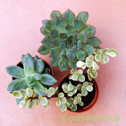 A mix of 3 succulents seen from above by craftyplants