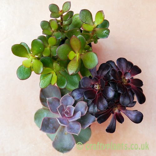Mixed succulent 3 pack from above by craftyplants.co.uk