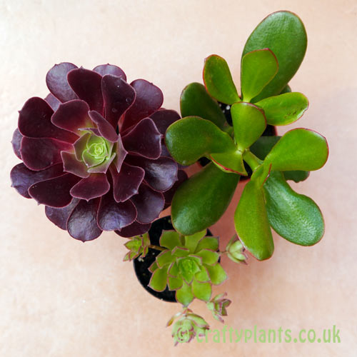 A mix of 3 succulents by craftyplants seen from above