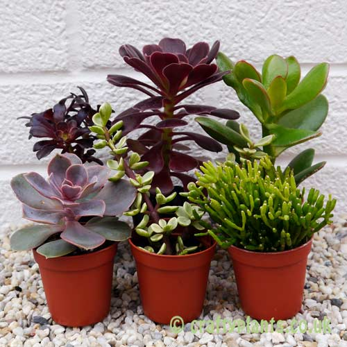 Mixed succulents 6 pack by craftyplants.co.uk