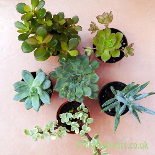 Mixed succulents 6 pack from above by craftyplants