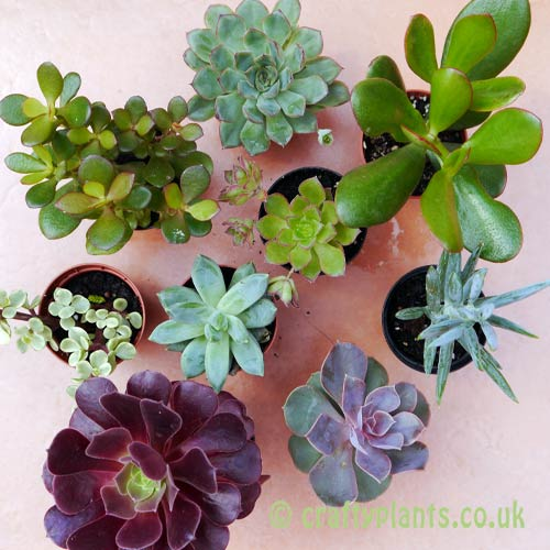 Mixed succulents 9 pack top view by craftyplants