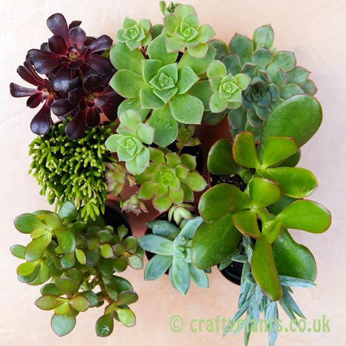 A top view of a mix of 9 succulents from craftyplants