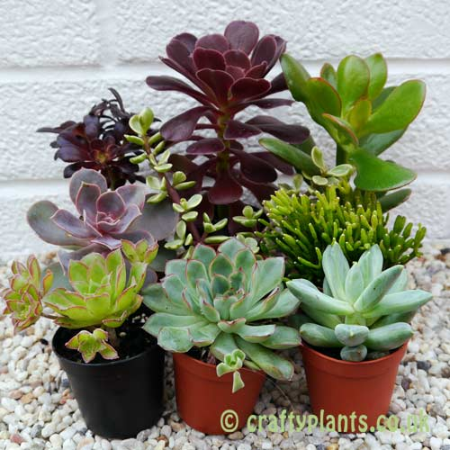 A mix of 9 succulents by craftyplants.co.uk