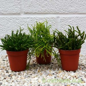 Three pack of Rhipsalis by craftyplants