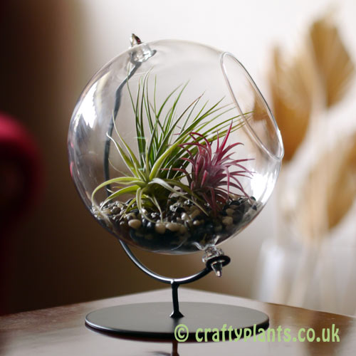 Display idea in a 15cm glass globe on stand from craftyplants.co.uk