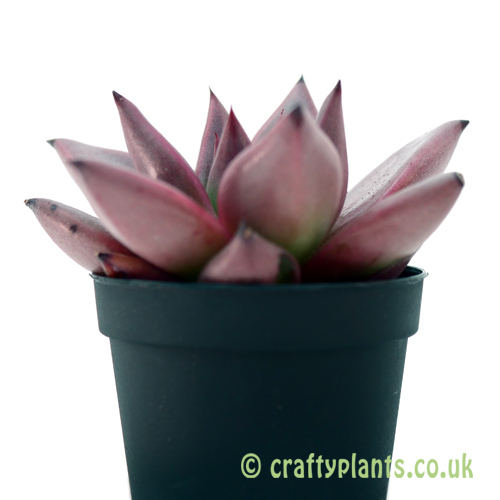A side on look at Echeveria 'Taurus' from craftyplants