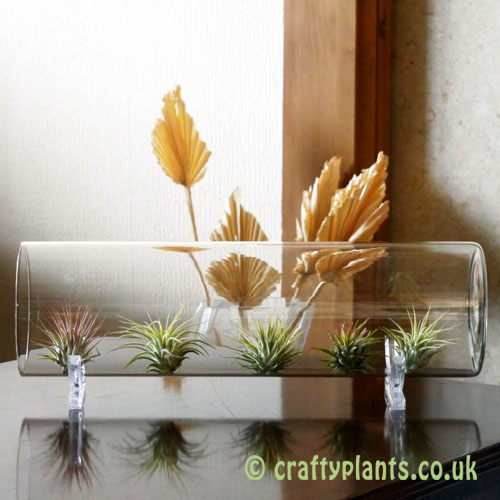 Glass vase shown with ionantha's as a display idea by craftyplants
