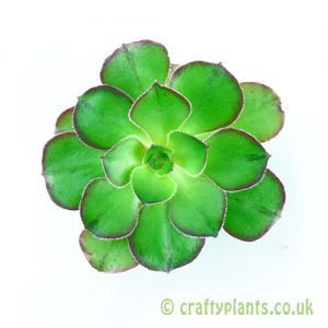 Top view of Aeonium 'Marnier Lapostolle' from craftyplants.co.uk