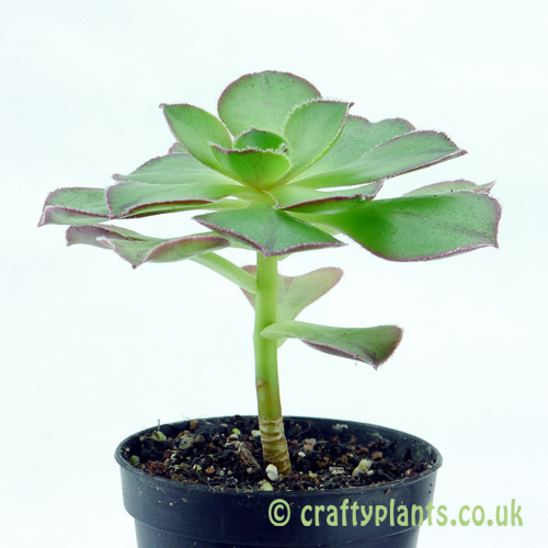 Side view of Aeonium 'Marnier Lapostolle' from craftyplants.co.uk