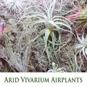 Tillandsia (Airplants) for Arid Vivarium - Hot and dry Xeric Habitat