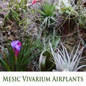 Tillandsia (Airplants) for Mesic Vivarium - Warm and Humid Habitat