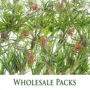 Wholesale Airplant Packs