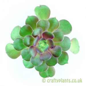 A top view of Aeonium 'Blushing Beauty' from craftyplants