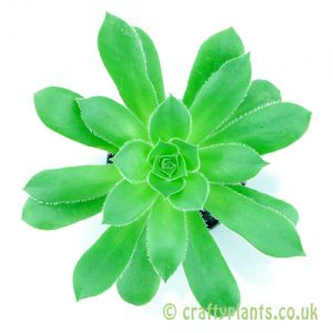 Top view of Aeonium 'Maximus' by craftyplants