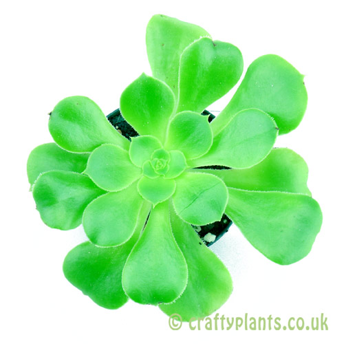 Top view of Aeonium arboreum 'Magnificum' from craftyplants