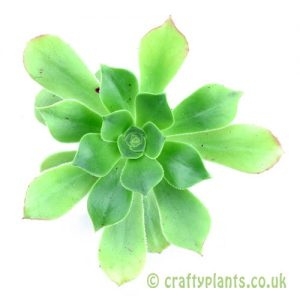 Top view of Aeonium arboreum subsp. holochrysum from craftyplants