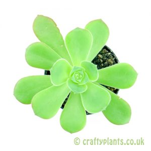 A top view of Aeonium gorgoneum from craftyplants