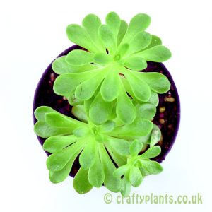 Top view of Aeonium sedifolium from craftyplants