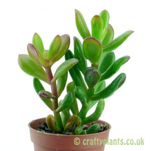 Crassula 'Hobbit' from the side by craftyplants.co.uk