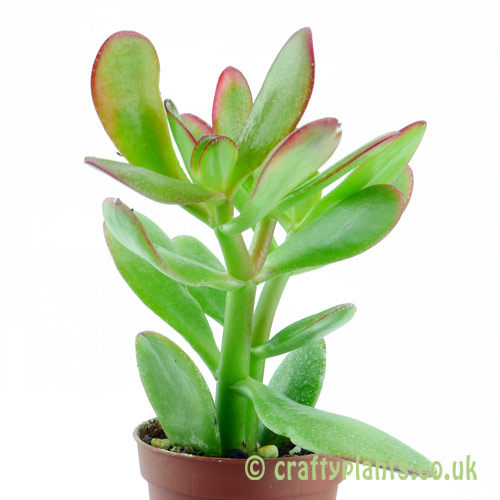 Crassula 'Hummels Sunset' from the side by craftyplants.co.uk