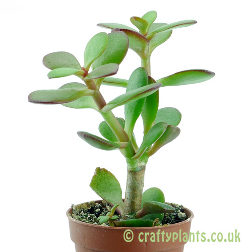 Crassula ovata 'Minima' viewed from the side by craftyplants.co.uk