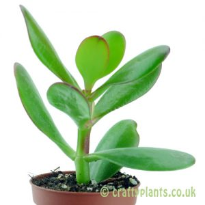 Crassula ovata side image by craftyplants
