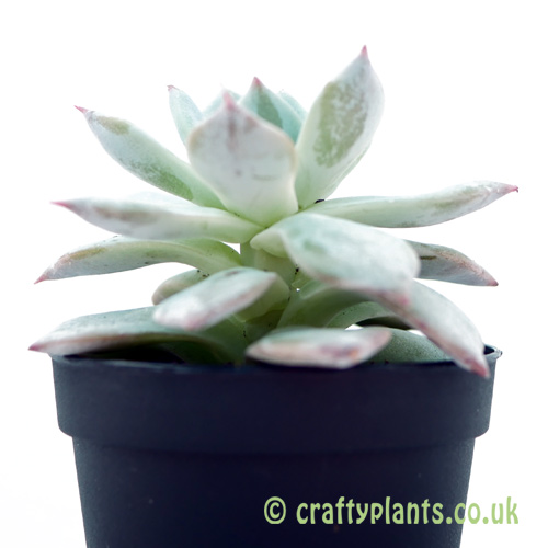 A side on look at Echeveria 'Blue Bird' by craftyplants