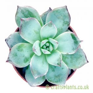 Looking down on Echeveria 'Blue Star' from craftyplants.co.uk