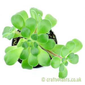 Aeonium lindleyi from above by craftyplants.co.uk