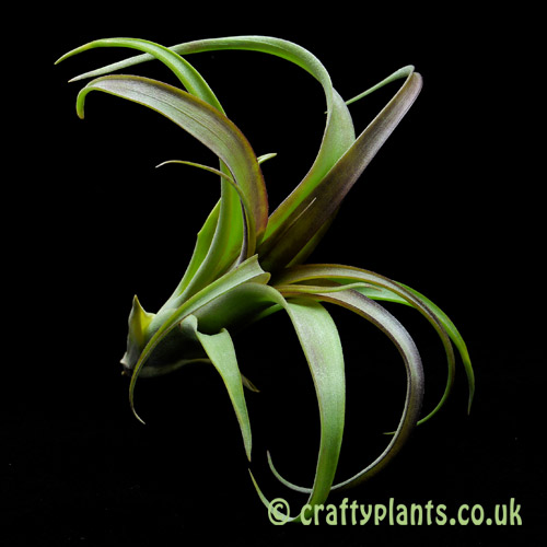 Tillandsia 'Twisted Tim' hybrid airplant