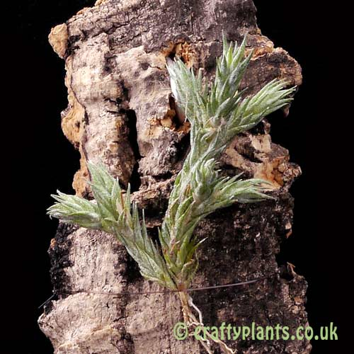 A miniature airplant, Tillandsia pedicellata from craftyplants.co.uk