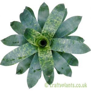Vriesea gigantea 'Nova' from above by craftyplants
