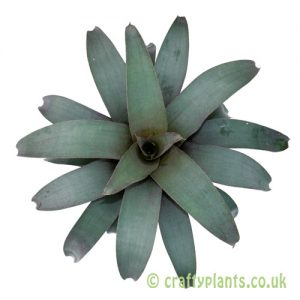 Vriesea saundersii viewed from above by craftyplants