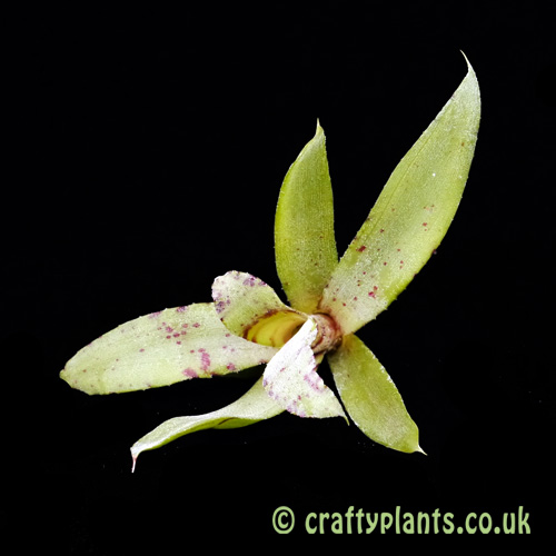 A top view of Neoregelia liliputiana from craftyplants.co.uk