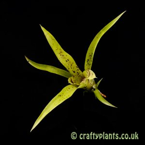 A top view of Neoregelia paucifolia from craftyplants.co.uk