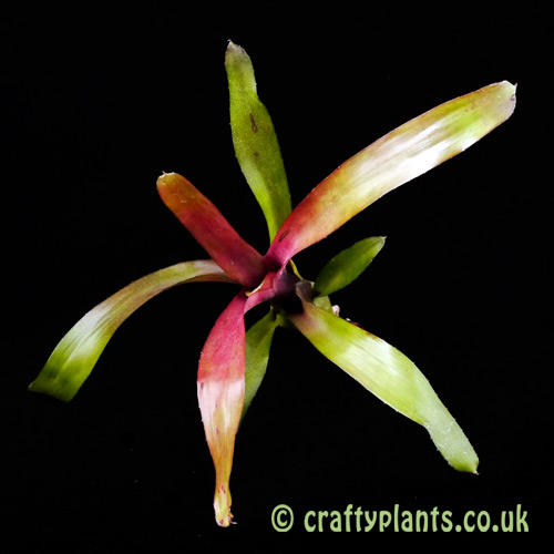 A top image of Neoregelia schultessiana from craftyplants.co.uk
