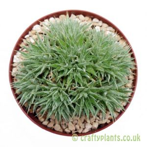 Deuterocohnia brevifolia ssp. chlorantha from craftyplants