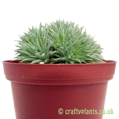 Deuterocohnia brevifolia ssp. chlorantha from the side by Craftyplants.co.uk