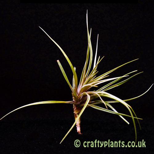 Tillandsia dura by craftyplants