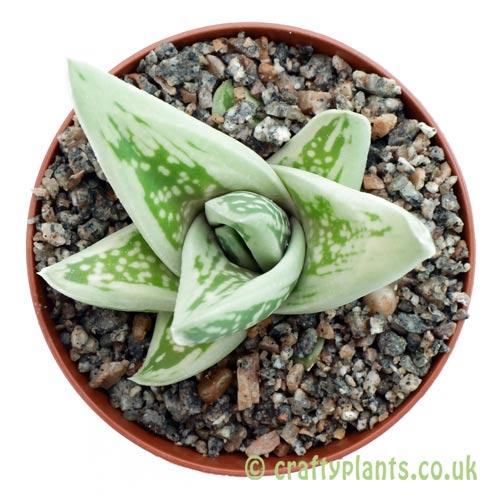 x Gasteraloe 'Green Ice' in 9 cm pot